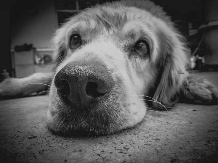 grayscale photo of golden retriever